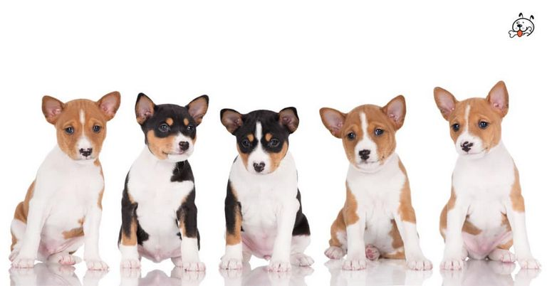 Tricolor Basenji Puppies For Sale