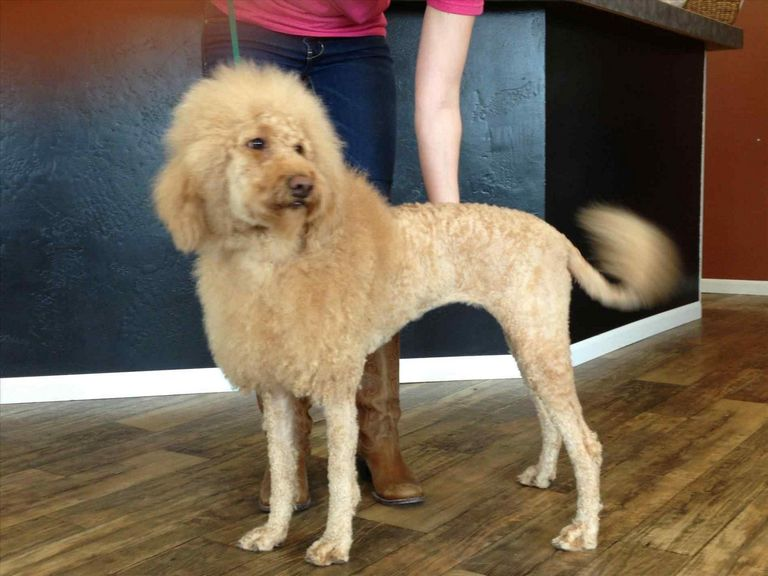 Types Of Goldendoodle Haircuts