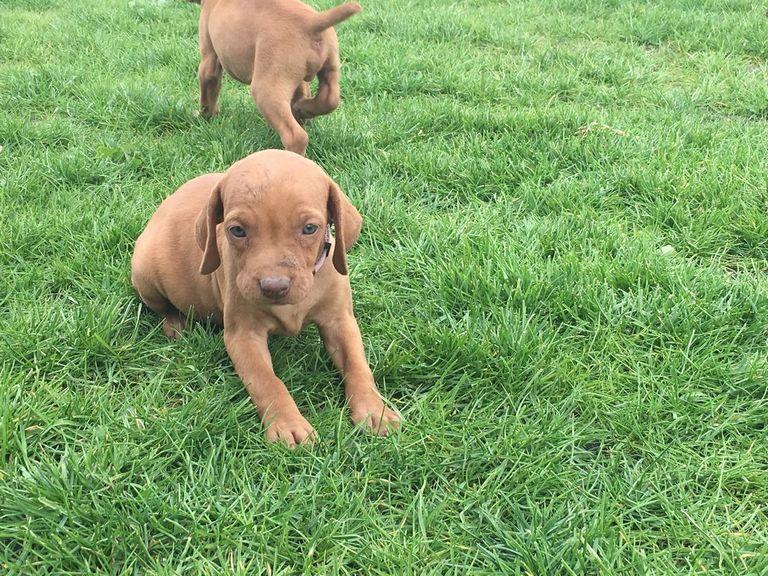 Vizsla Weimaraner Puppies For Sale