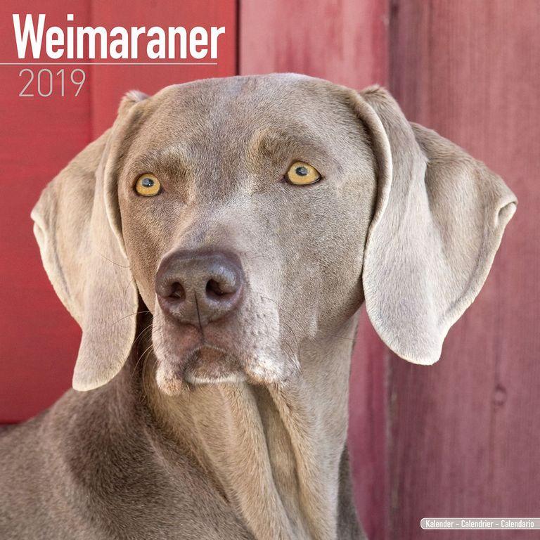 Weimaraner Puppies For Sale In Indiana