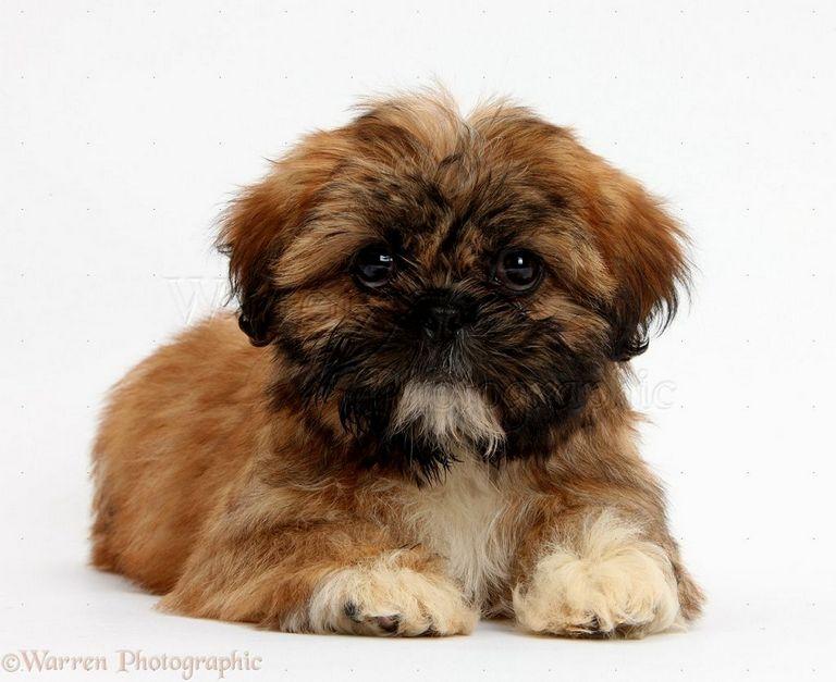 Weimaraner Puppies For Sale In Nc