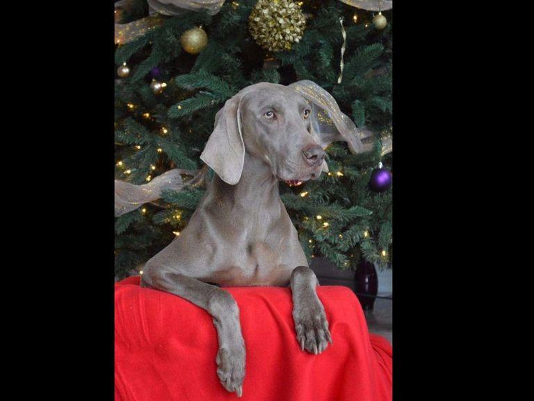 Weimaraner Puppies For Sale In Tn