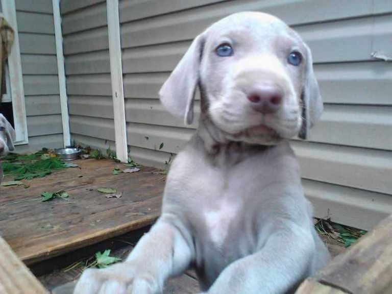 Weimaraner Puppies For Sale Sacramento