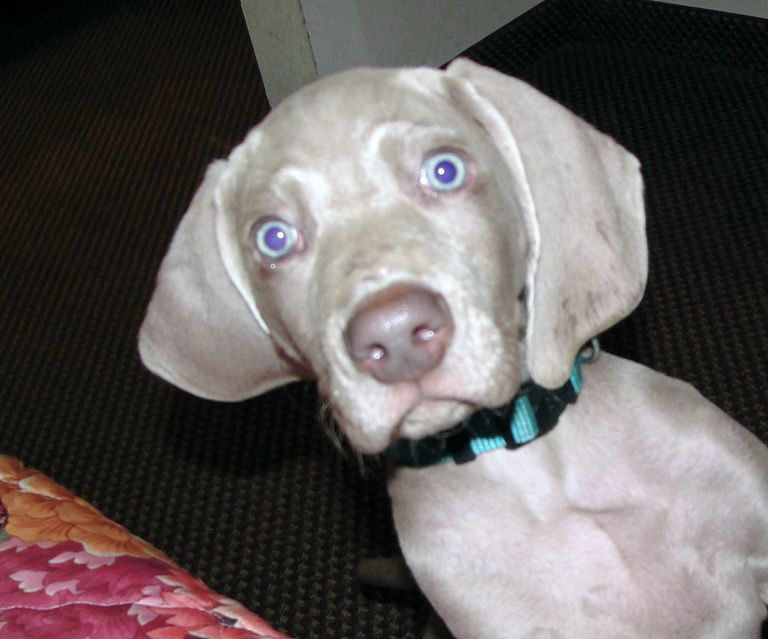 Weimaraner Puppies For Sale Tn