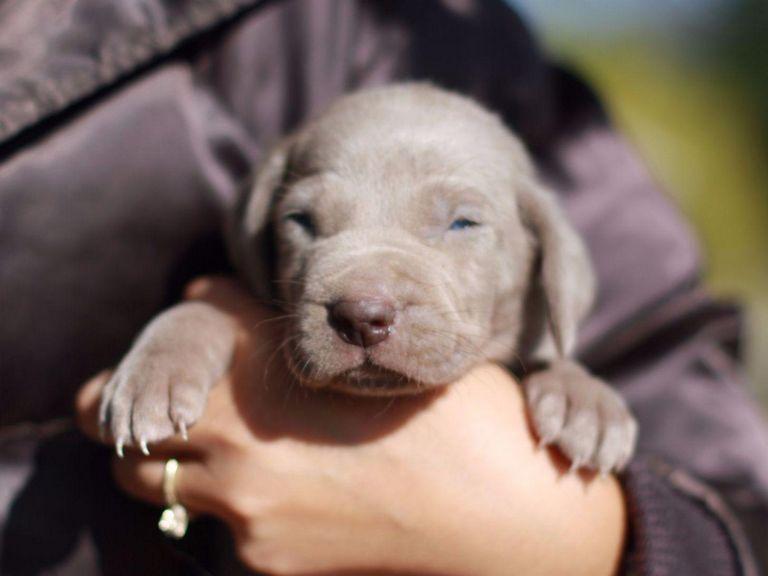 Weimaraner Puppies Texas