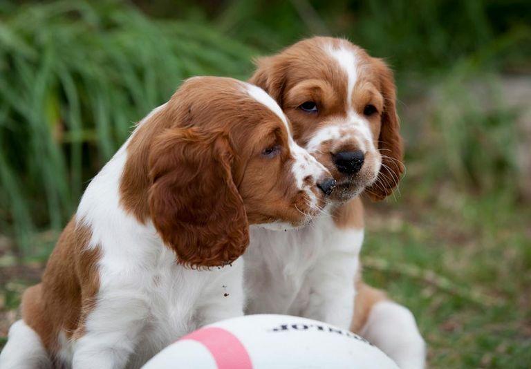 Welsh Springer Spaniel Puppies Ohio
