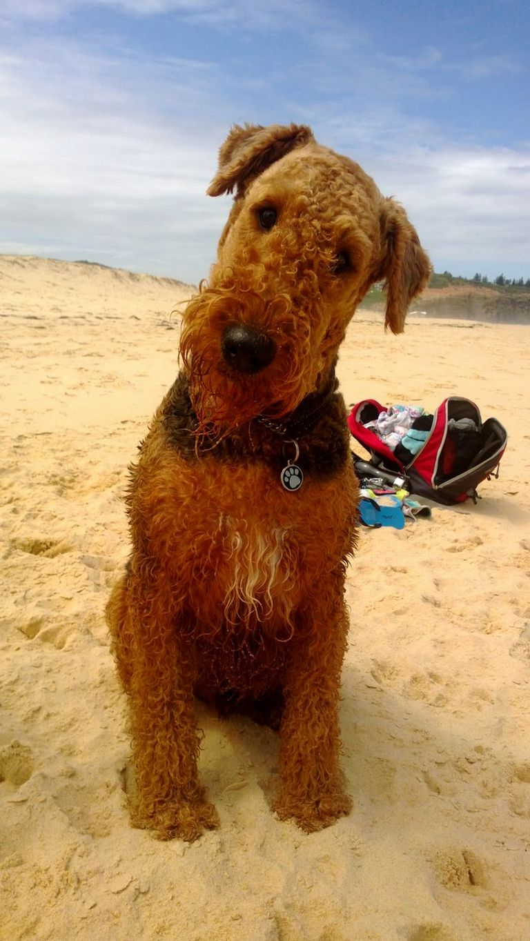 Welsh Terrier Puppies For Sale In Pa