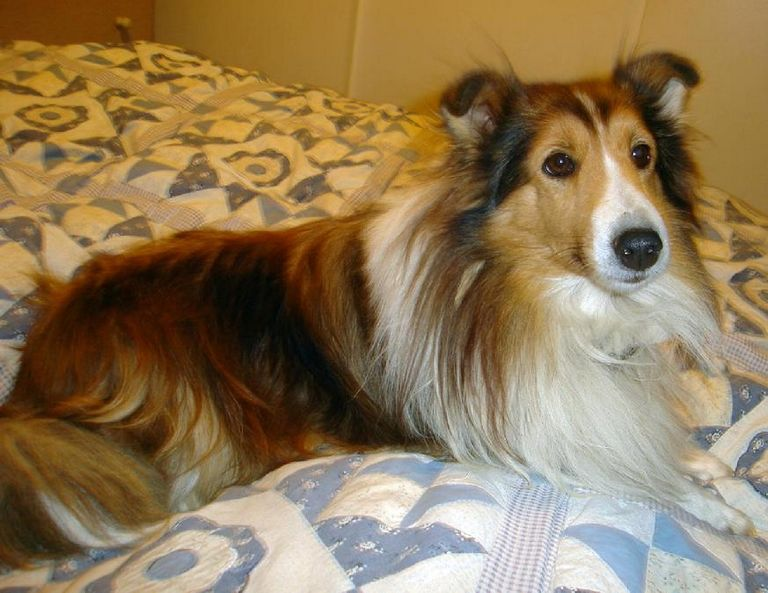 Western Colorado Sheltie Rescue