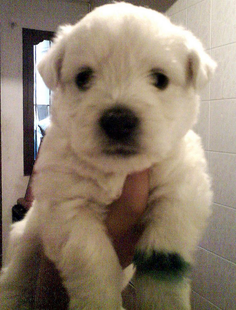 Westie Puppies For Sale In Lafayette Louisiana | Top Dog