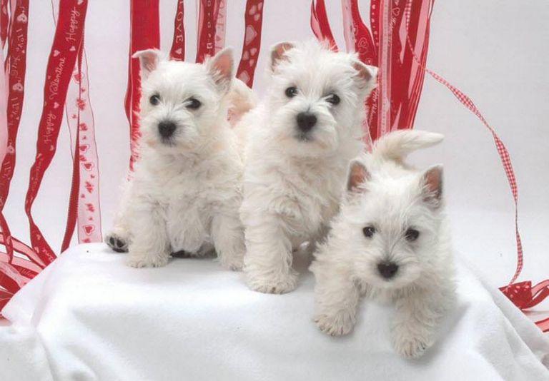 Westie Puppies For Sale In Sc