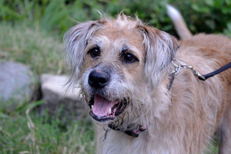 Wheaten Terrier Breeders New York