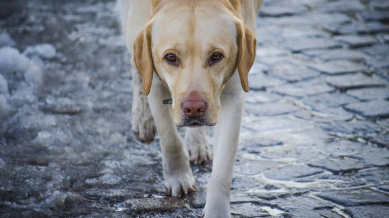 When Prednisone Stops Working In Canine Lymphoma