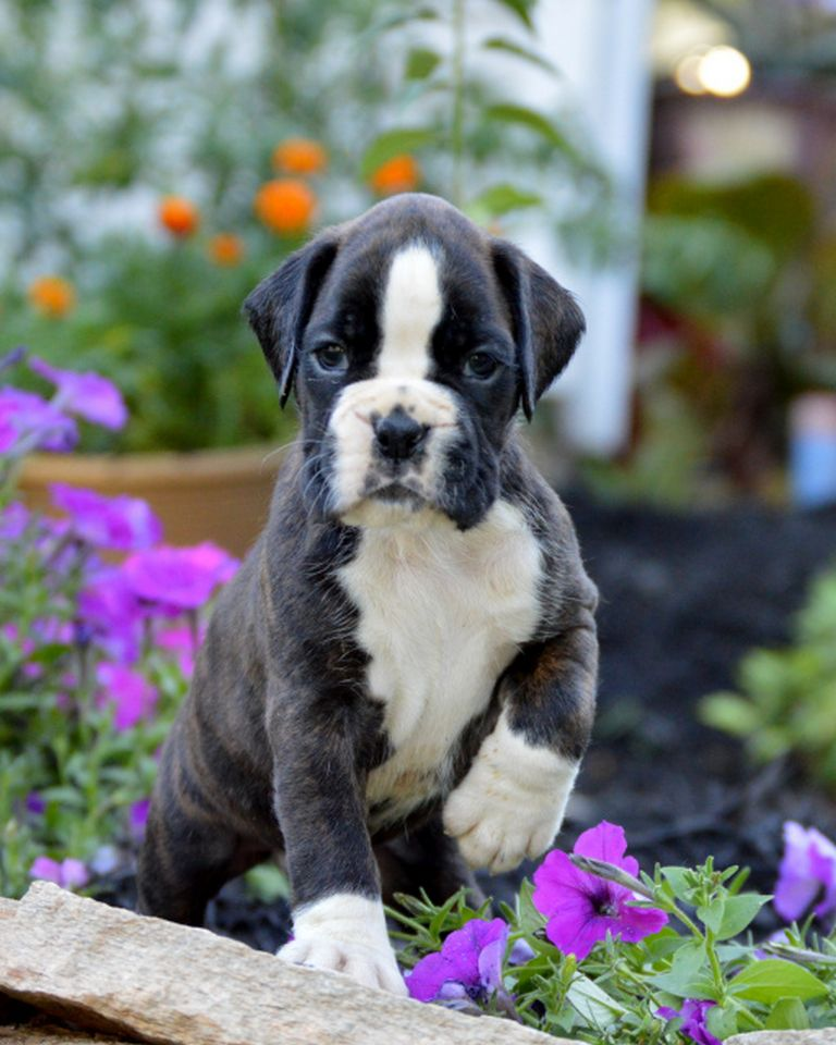 White European Boxer Puppies For Sale