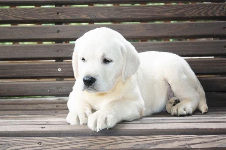 White Lab Puppies For Sale In Alabama