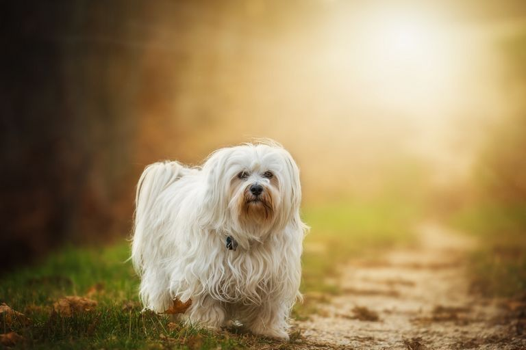 White Long Haired Dog