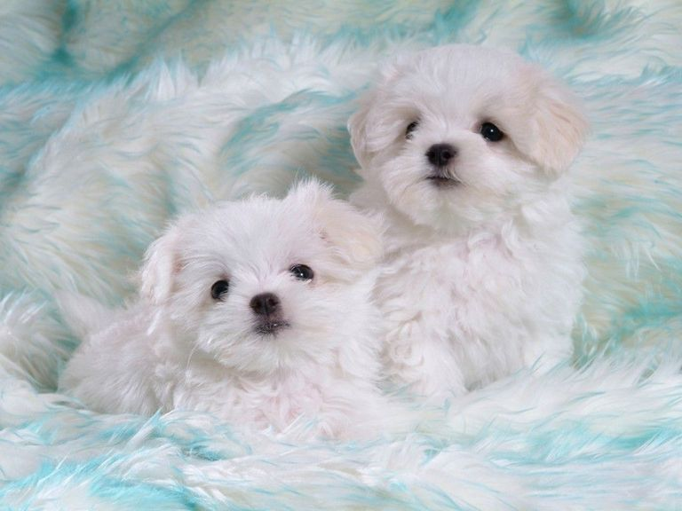 White Maltese Puppies For Free