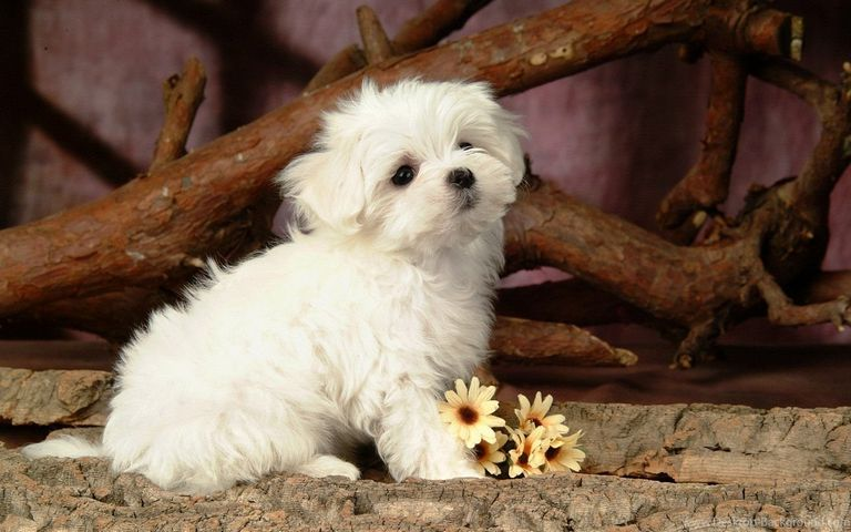 White Maltese Puppy