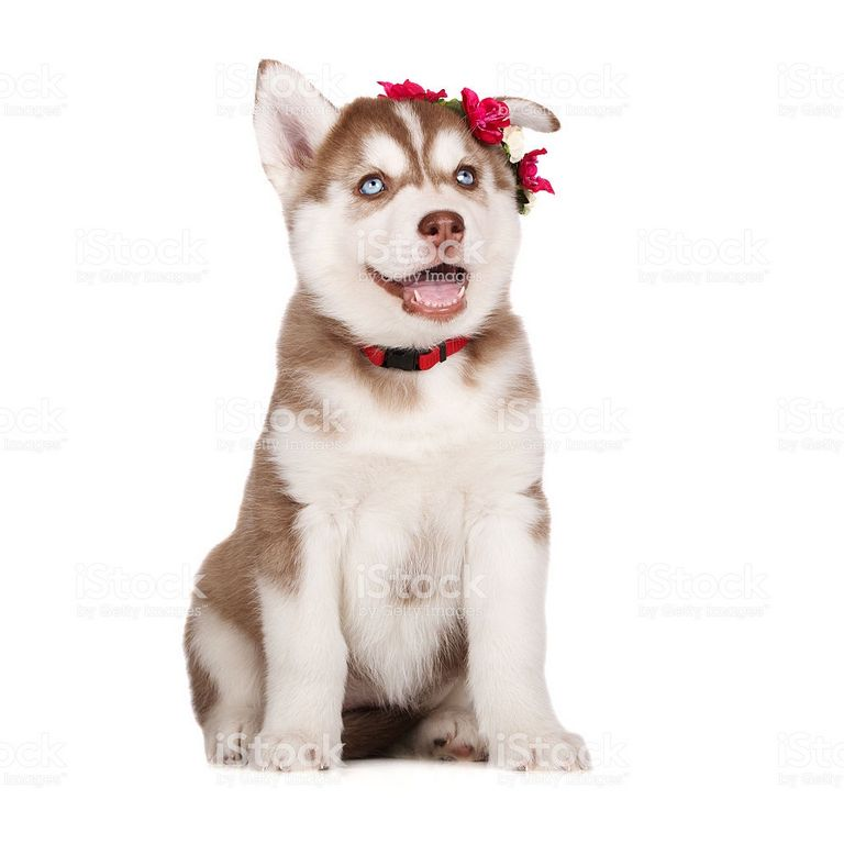 White Siberian Husky Puppy For Sale