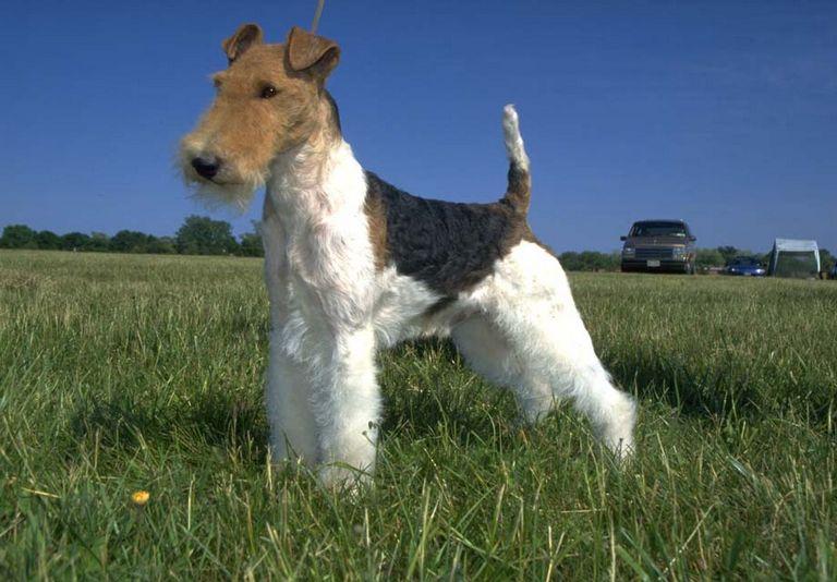 Wire Fox Terrier Price