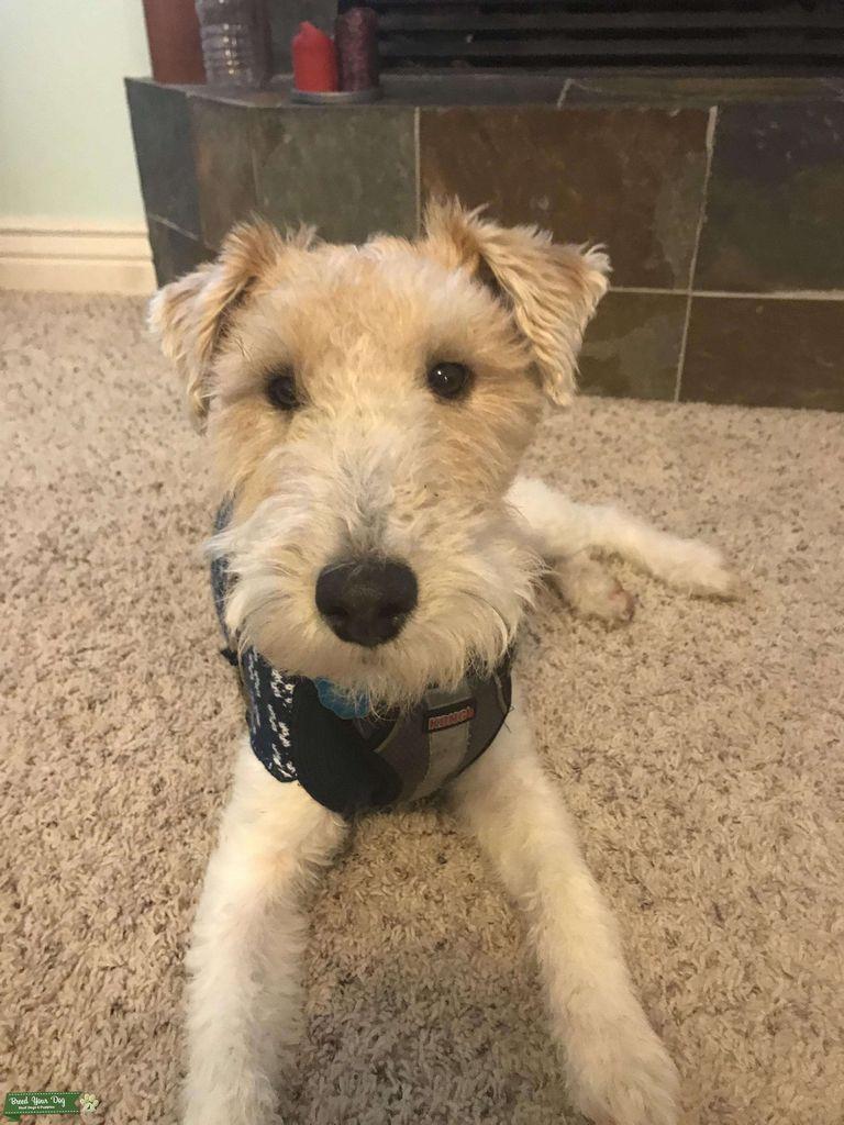 Wire Fox Terrier Washington State