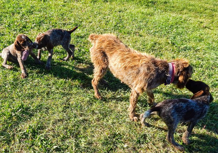 Wirehaired Pointing Griffon Puppies For Sale Idaho