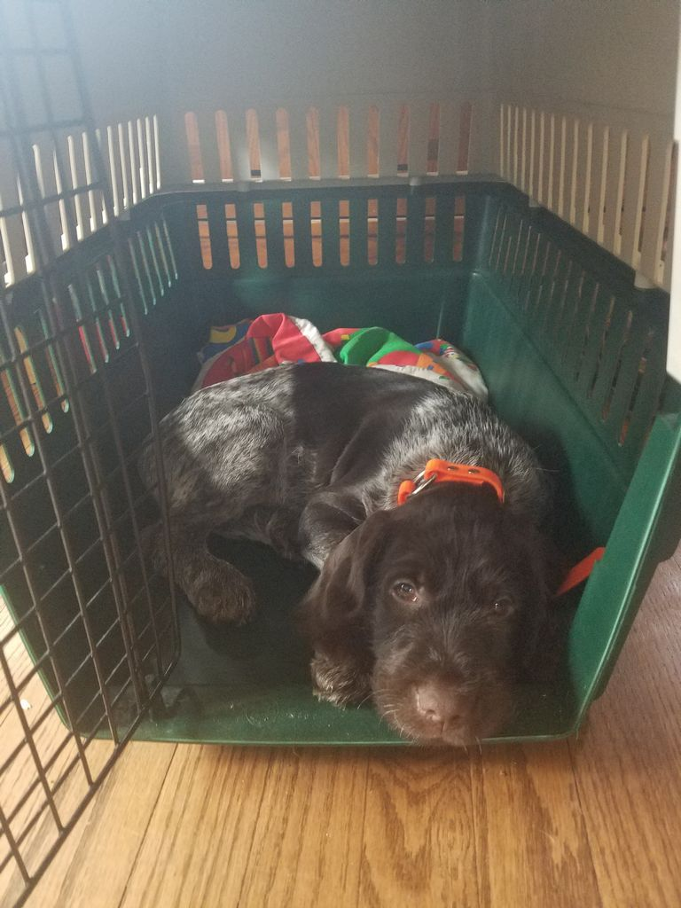 Wirehaired Pointing Griffon Puppies For Sale Wisconsin