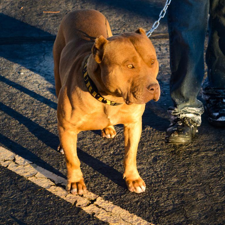 Xxl Pitbull Puppies For Sale Cheap