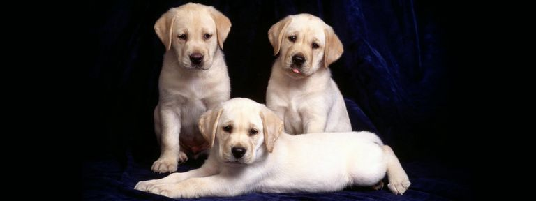 Yellow Lab Puppies For Sale In Greensboro Nc