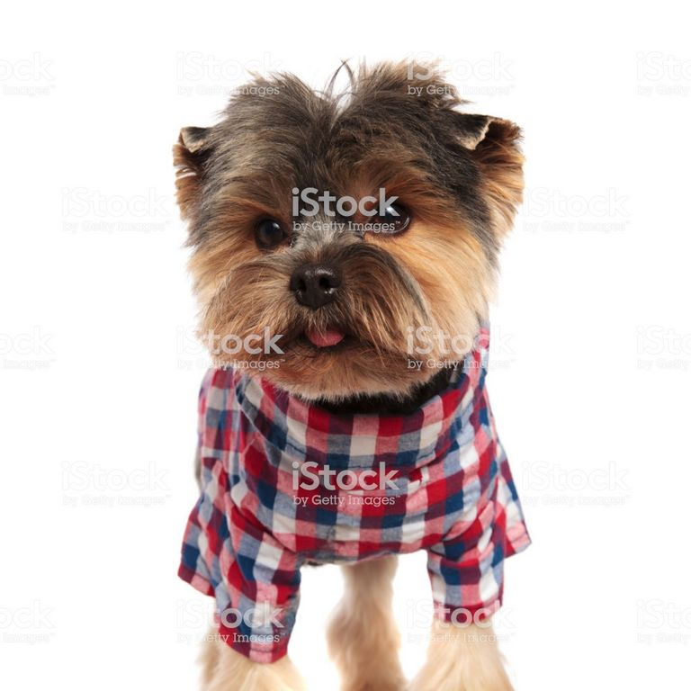 Yorkie Colors Pictures