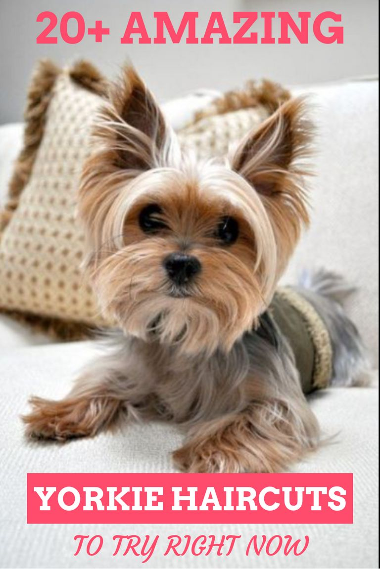 Yorkie Haircuts For Females