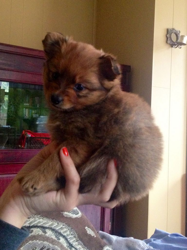 Yorkie Poo Puppies For Sale In Nc