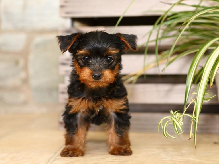 Yorkie Poo Puppies For Sale In Wisconsin