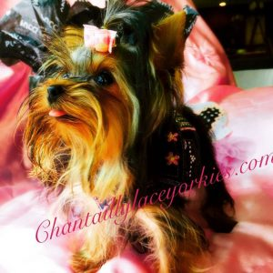 Yorkie Poo Puppies For Sale Md