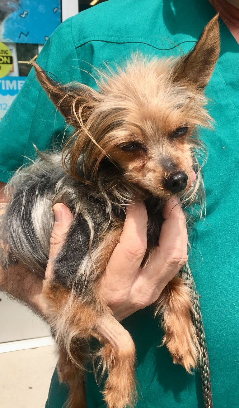 Yorkie Poo Puppies For Sale Sc