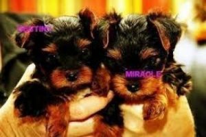 Yorkie Poo Puppies For Sale Va
