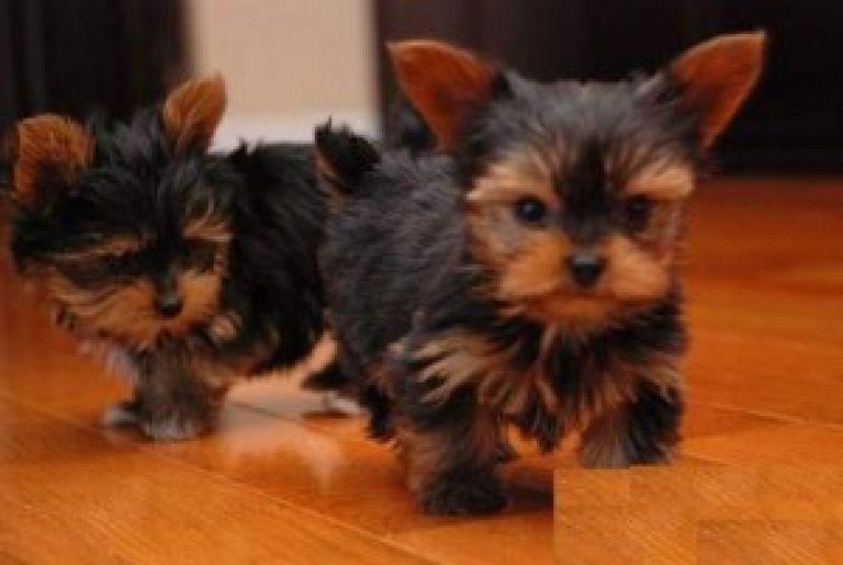 Yorkie Puppies Asheville Nc
