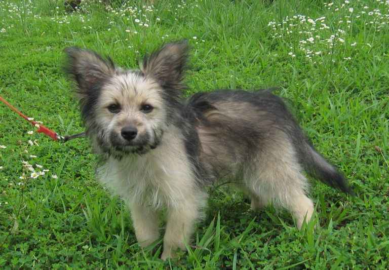 Yorkie Puppies For Adoption In Ma