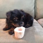 Yorkie Puppies For Adoption In Nc