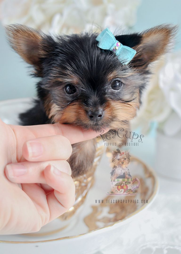 Yorkie Puppies For Free