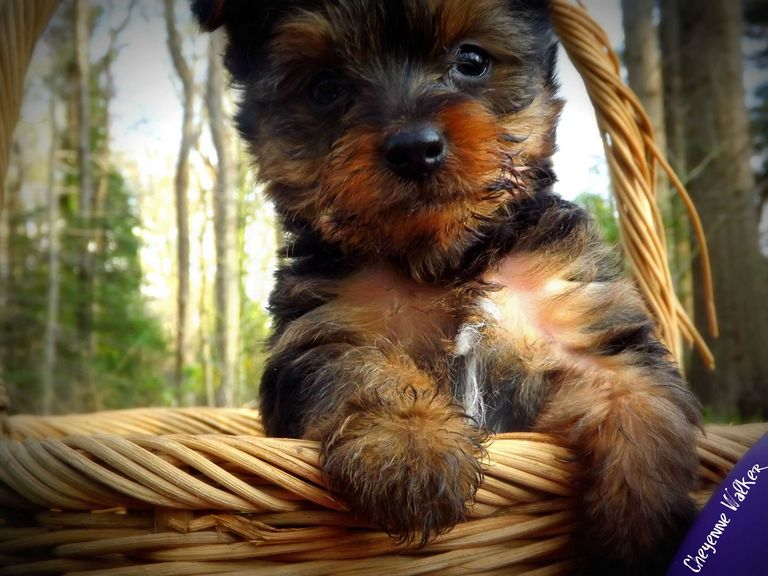 Yorkie Puppies For Sale In North Alabama