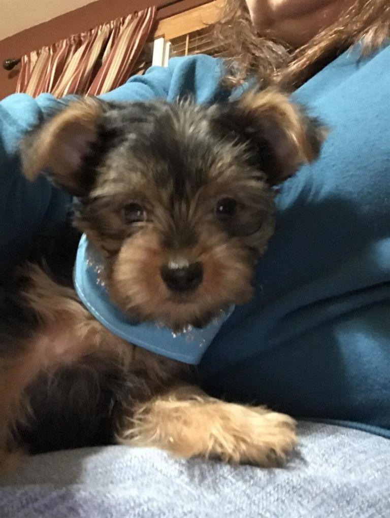 Yorkie Puppies For Sale Wilmington Nc