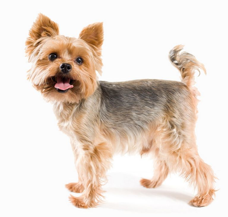 Yorkie Puppy Coat Stages