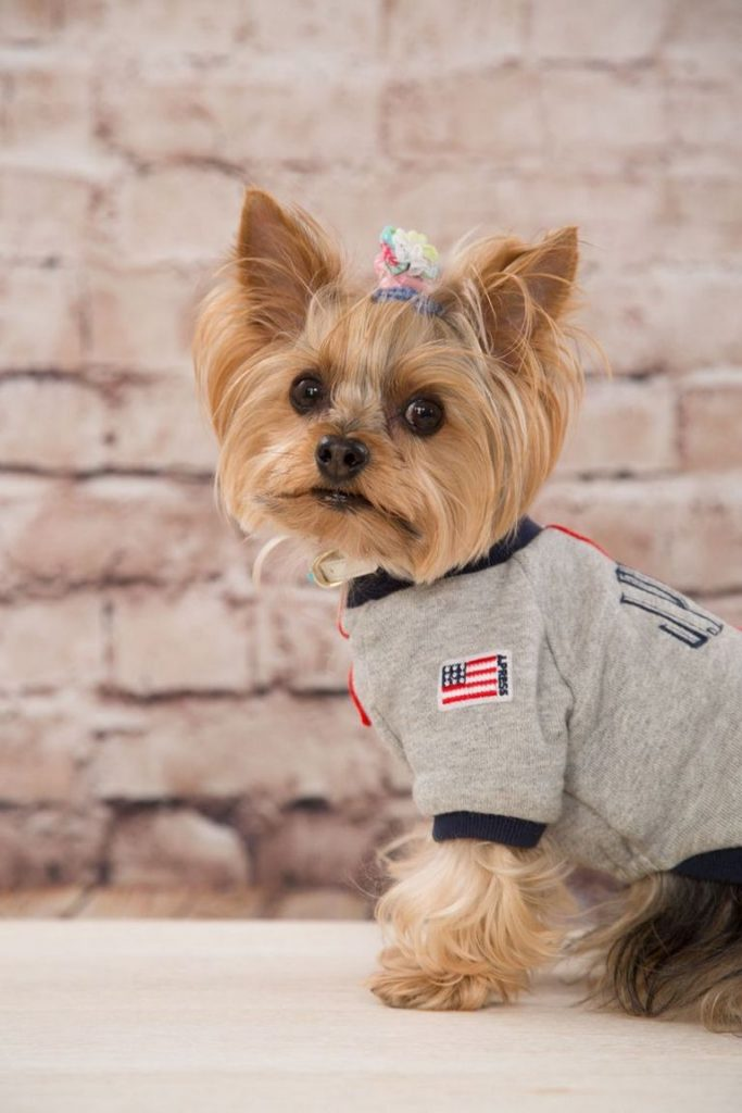 Yorkie Rescue Of America Los Angeles
