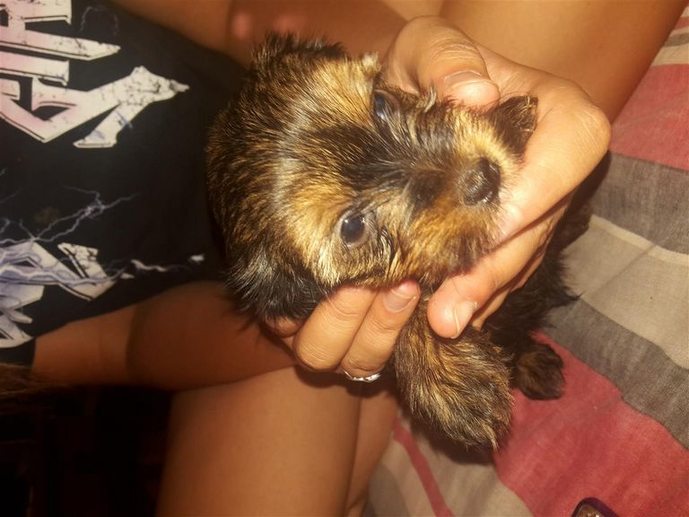 Yorkie Schnoodle For Sale
