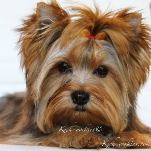 Yorkies For Sale In Abilene Texas
