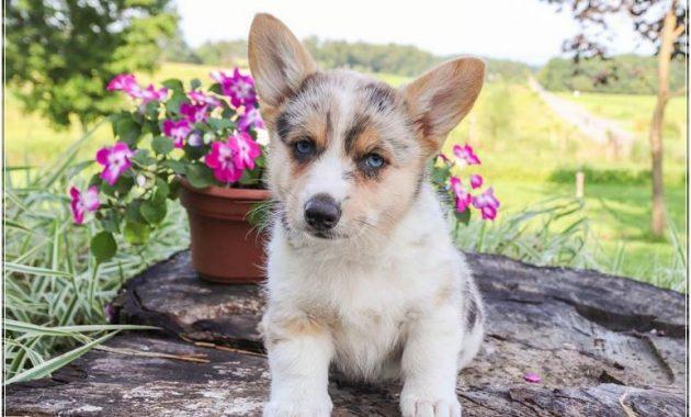 Corgi Puppies Az Craigslist | Top Dog Information